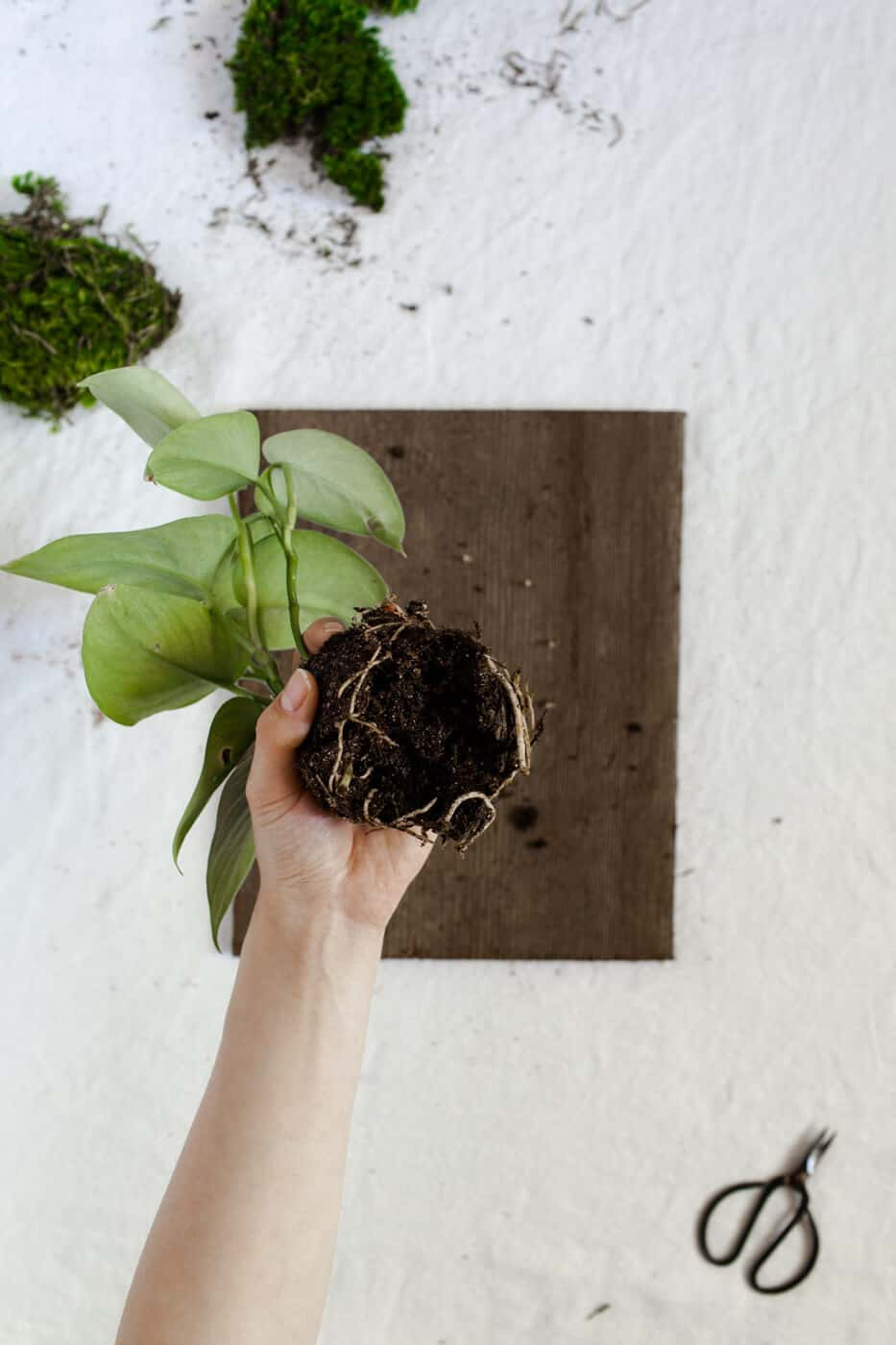Perfect Remove The Plant From Its Pot, Loosen The Roots And Remove Most Of The  Excess Soil.