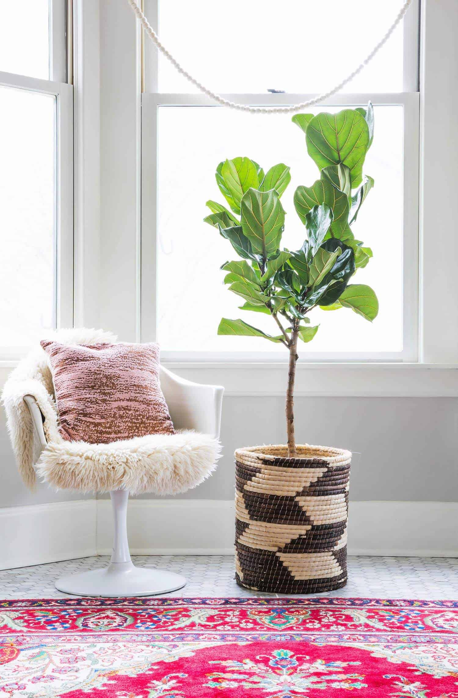 I Am Sure You All Have Heard Of The Fiddle Leaf Fig Tree Also Known As Ficus Lyrata They A Retion Being Beautiful And Quite