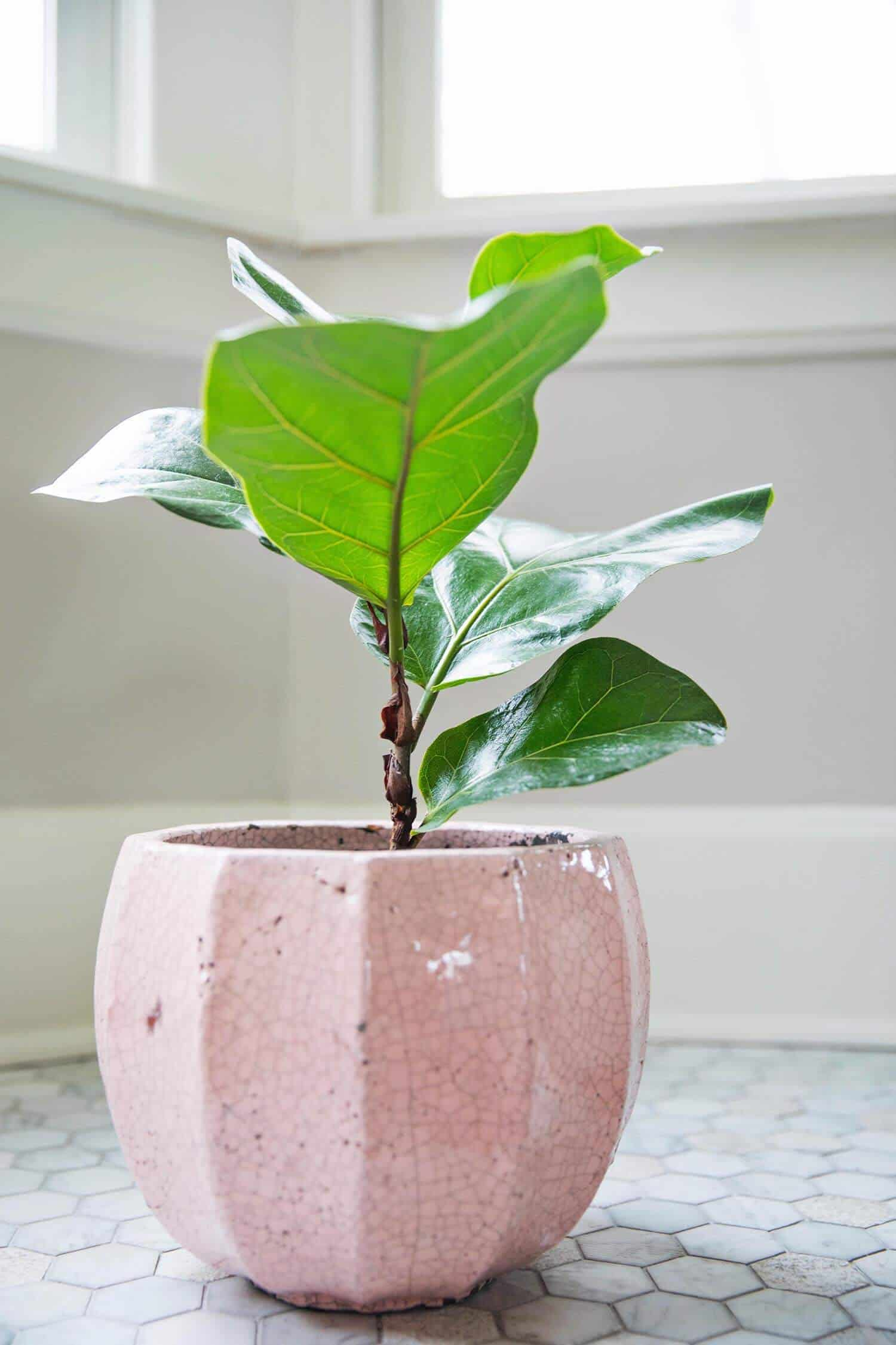 Light This Thing Loves The If You Get A Fiddle Leaf Then Find Window With Ample Be Sure That It Is Bright Indirect