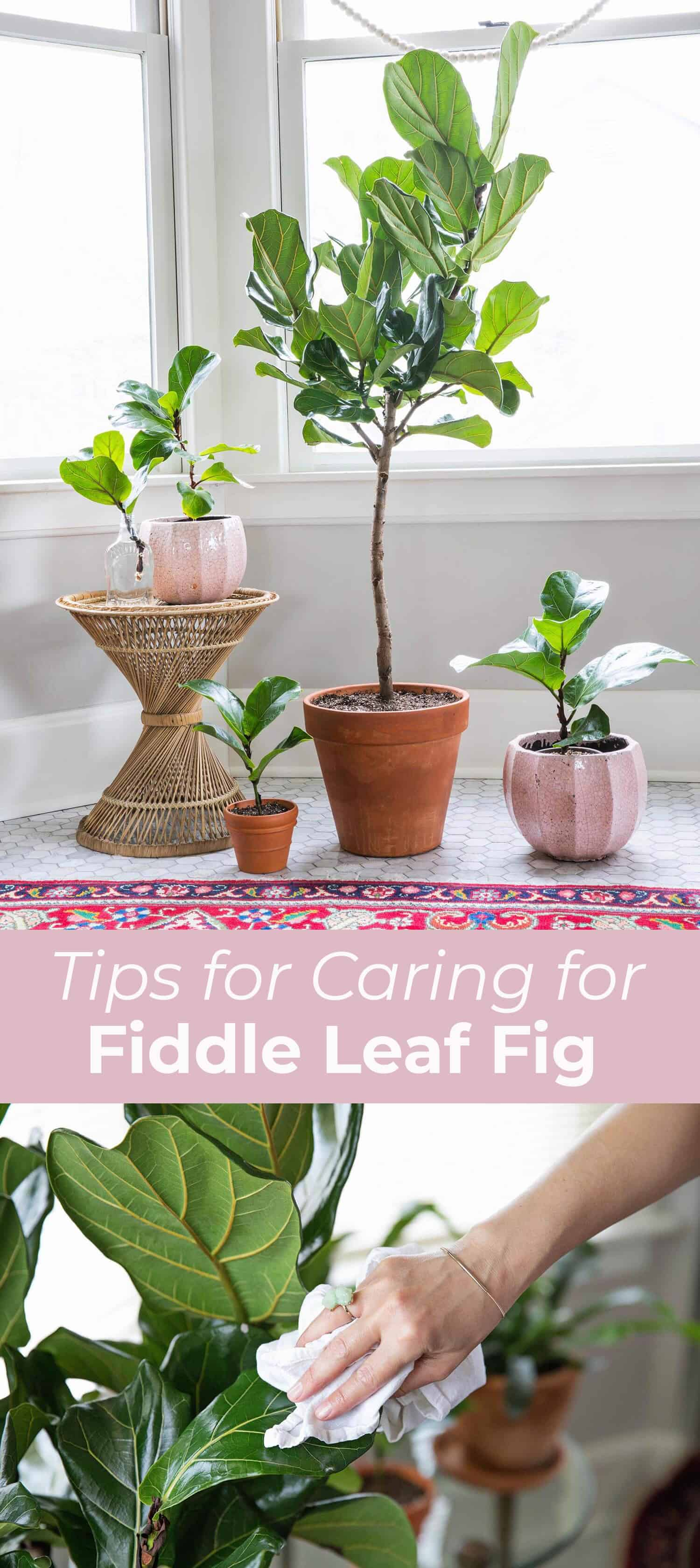5 Tips for Caring for Fiddle Leaf Figs - A Beautiful Mess