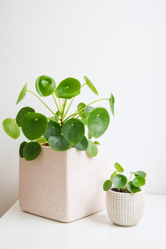 Money Plant Decoration In Living Room: Caring For Pilea Plants