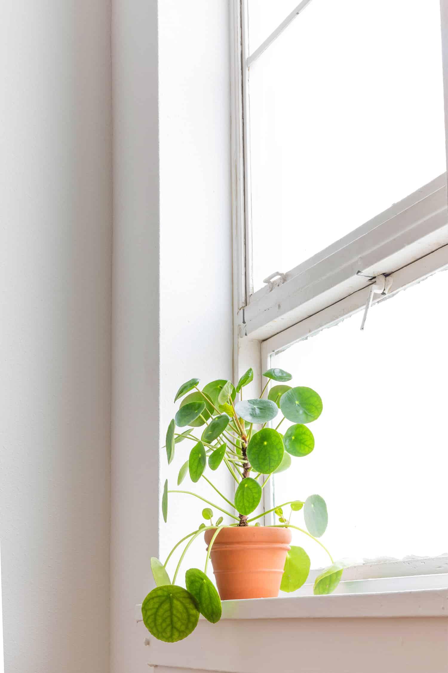 Pflege von Pilea-Pflanzen