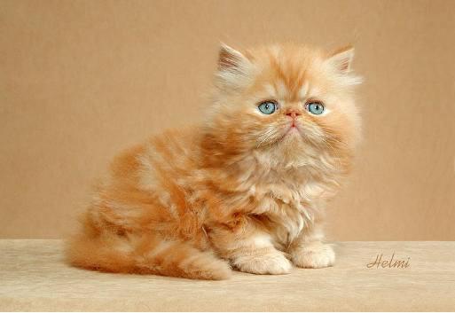 Persian-kitty-two-2