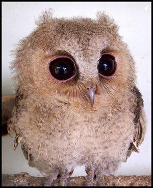Baby_Scops_Owl_III_by_makibird