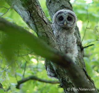 Baby-barred-owl