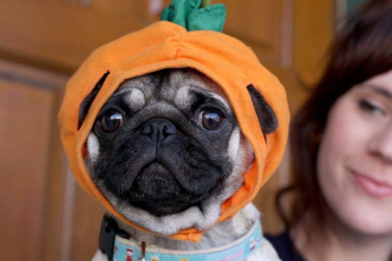 Pug-puppy-pumpkin