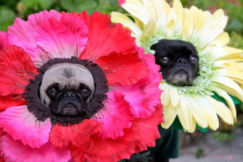 Pug flowers