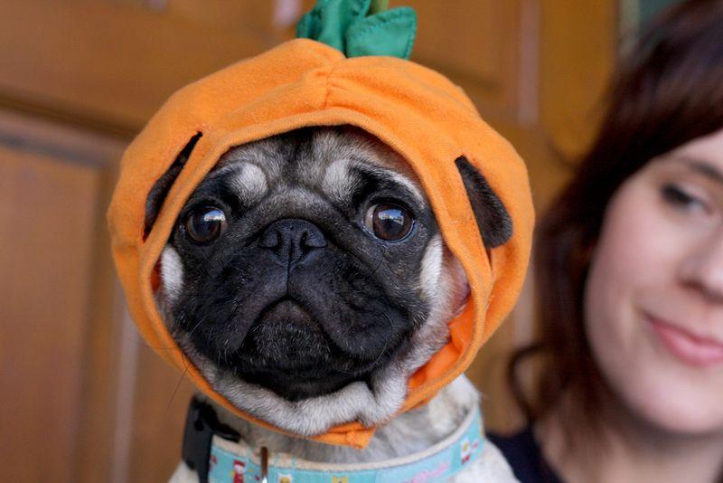 Pumpkin-pug