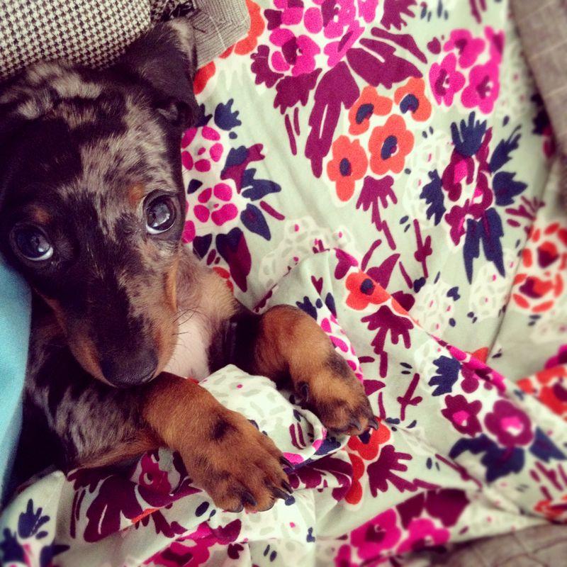 Dolly dapple dachshund