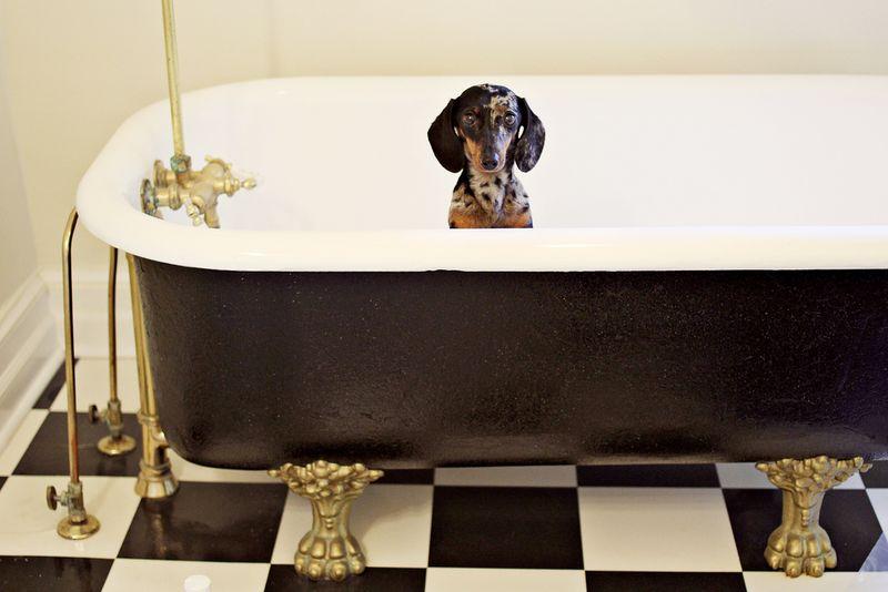 Dapple dachshund in a bathtub!