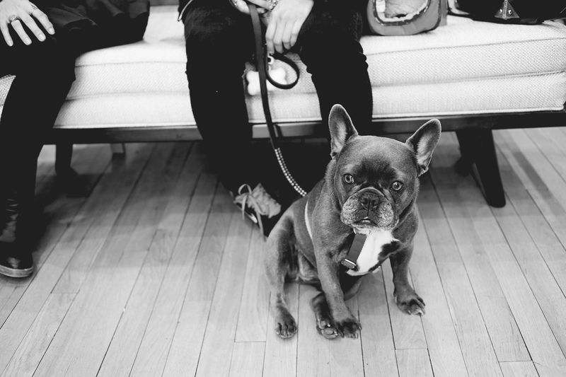 Lola the frenchie is so sweet!